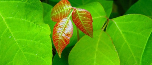 Poison ivy leaves How to Ease Discomfort From Poison Oak and Poison Ivy