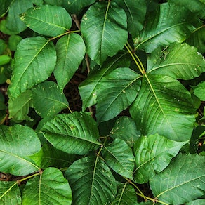 Poison ivy leaves Tricks for Dealing with Poison Oak and Poison Ivy
